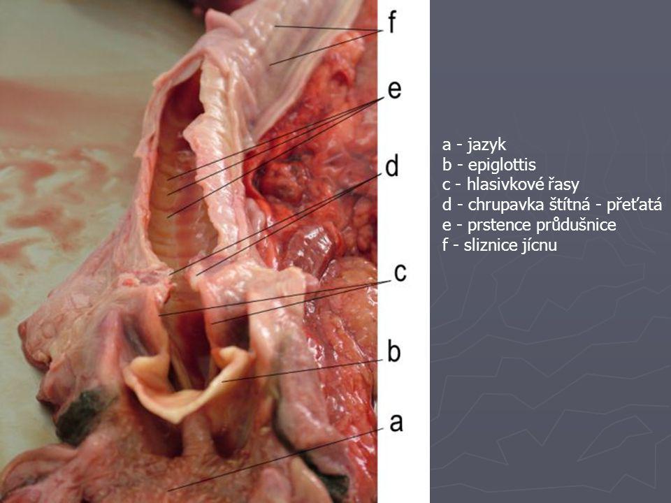 a - jazyk b - epiglottis c - hlasivkové řasy d - chrupavka štítná - přeťatá e - prstence průdušnice f - sliznice jícnu