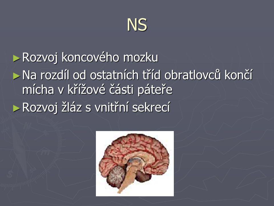 NS ► Rozvoj koncového mozku ► Na rozdíl od ostatních tříd obratlovců končí mícha v křížové části páteře ► Rozvoj žláz s vnitřní sekrecí