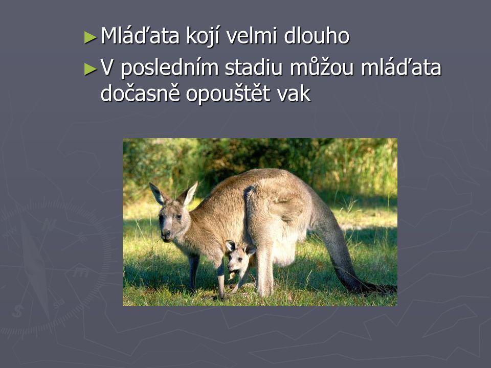 ► Mláďata kojí velmi dlouho ► V posledním stadiu můžou mláďata dočasně opouštět vak