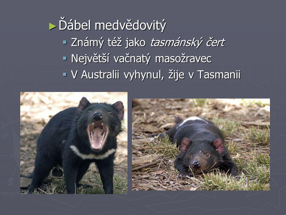 ► Ďábel medvědovitý  Známý též jako tasmánský čert  Největší vačnatý masožravec  V Australii vyhynul, žije v Tasmanii