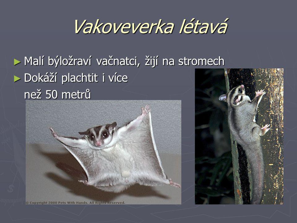 Vakoveverka létavá ► Malí býložraví vačnatci, žijí na stromech ► Dokáží plachtit i více než 50 metrů