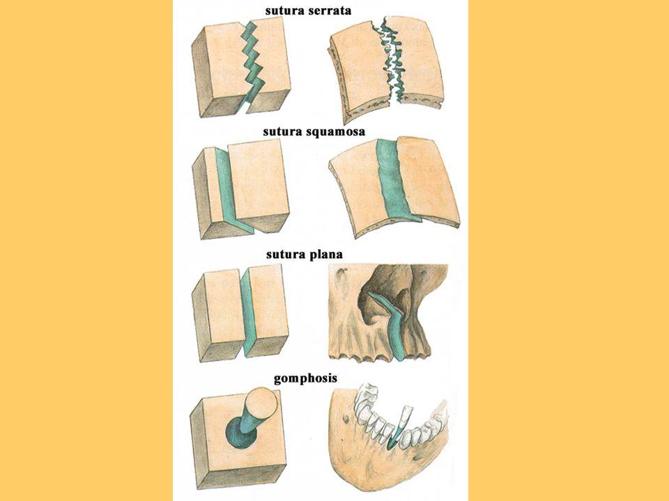 Typy kloubů 1)Podle počtu komponent klouby jednoduché – stýkají se jen 2 kosti, např.