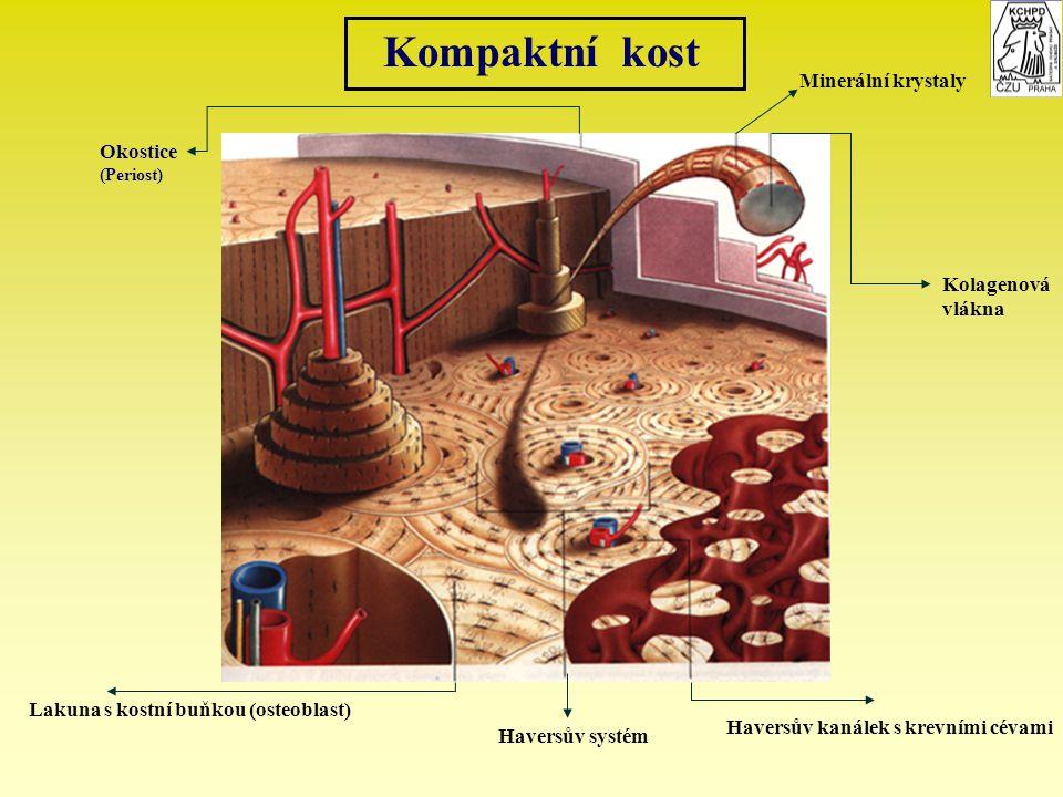 Kompaktní kost Okostice (Periost) Minerální krystaly Kolagenová vlákna Lakuna s kostní buňkou (osteoblast) Haversův systém Haversův kanálek s krevními