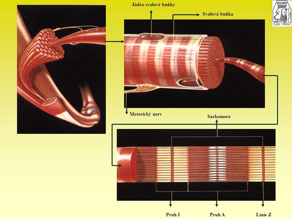 Jádro svalové buňky Svalová buňka Motorický nerv Pruh IPruh ALinie Z Sarkomera
