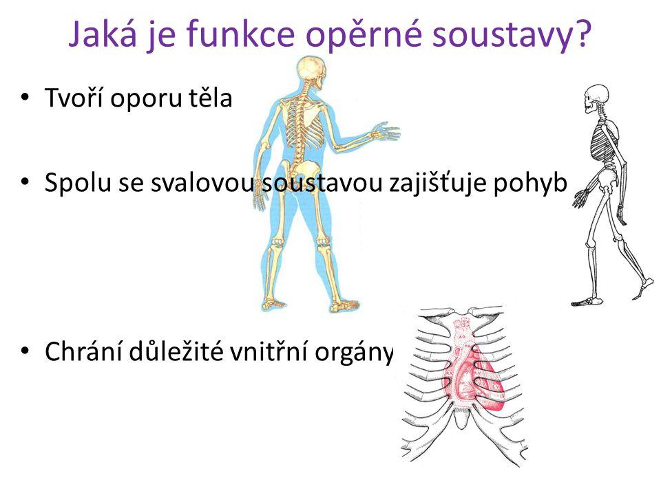 Jaká je funkce opěrné soustavy? Tvoří oporu těla Spolu se svalovou soustavou zajišťuje pohyb Chrání důležité vnitřní orgány