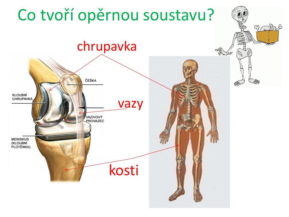 Co tvoří opěrnou soustavu? kosti chrupavka vazy