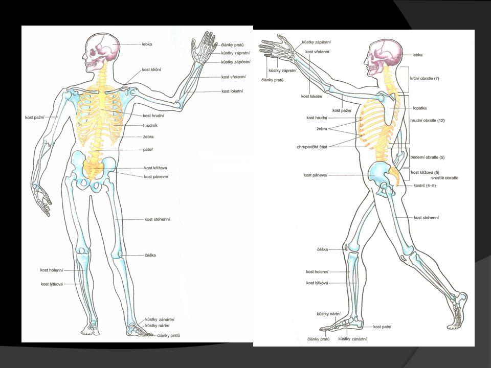 Funkce kostry  Kosterní soustava tvoří pevnou oporu celého těla - zajišťuje vzpřímenou chůzi  Pevné kosti chrání měkké a životně důležité orgány (lebka chrání mozek, páteř míchu a hrudní koš srdce a plíce)  Na dlouhé kosti končetin se upínají svaly - kosti působí při pohybu jako páky.