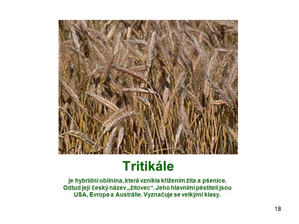 """Tritikále je hybridní obilnina, která vznikla křížením žita a pšenice. Odtud její český název """"žitovec"""". Jeho hlavními pěstiteli jsou USA, Evropa a Au"""