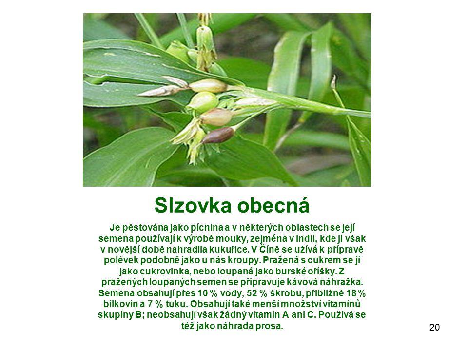 Slzovka obecná Je pěstována jako pícnina a v některých oblastech se její semena používají k výrobě mouky, zejména v Indii, kde ji však v novější době