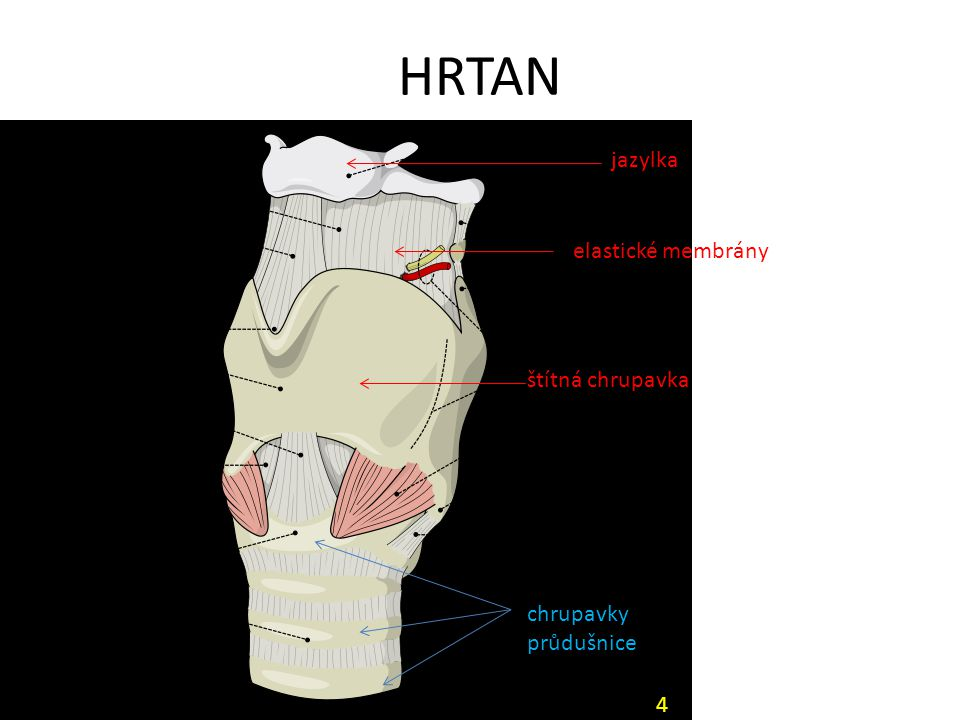 HRTAN jazylka štítná chrupavka chrupavky průdušnice elastické membrány 4