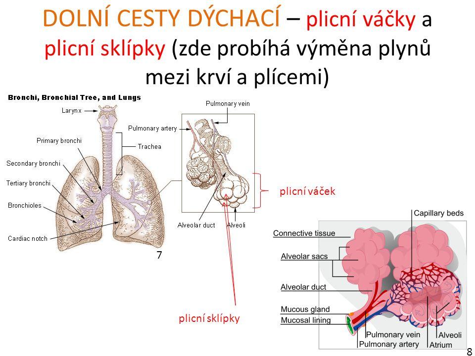 DOLNÍ CESTY DÝCHACÍ – plicní váčky a plicní sklípky (zde probíhá výměna plynů mezi krví a plícemi) 7 8 plicní váček plicní sklípky