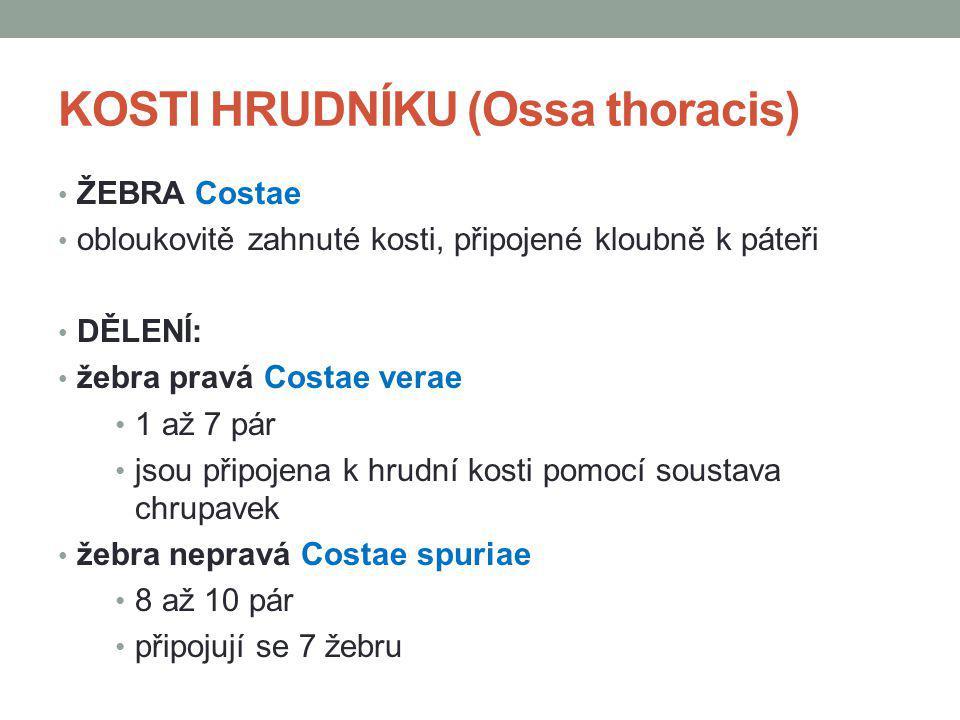 KOSTI HRUDNÍKU (Ossa thoracis) ŽEBRA Costae obloukovitě zahnuté kosti, připojené kloubně k páteři DĚLENÍ: žebra pravá Costae verae 1 až 7 pár jsou při
