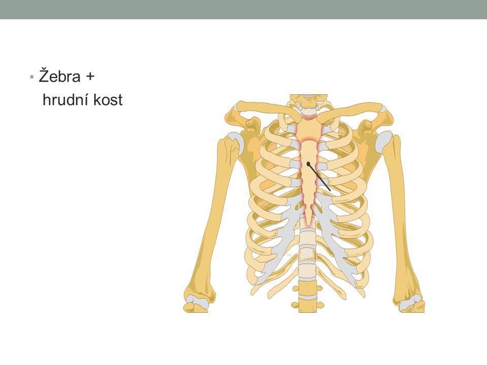 Hrudník Thorax ohraničuje hrudní dutinu tvoří kostěnou schránku hrudních orgánů upínají se na něj svaly (především dýchací) složitou činností svalů a žeber se hrudník rozpíná (zvětšuje) a to je spojeno s nasátím vzduchu do plic (vdech) výdech je způsoben naopak pružností plic, hrudní stěny (kloubní spojení žeber a obratlů) a vahou hrudní stěny, je to tedy převážně pasívní děj