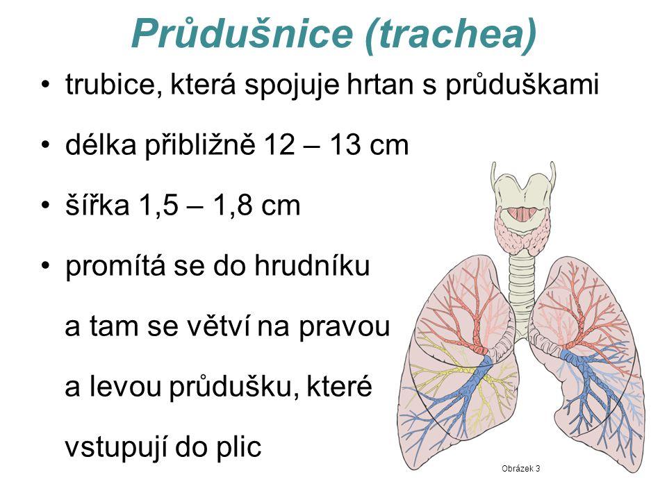 Průdušnice (trachea) trubice, která spojuje hrtan s průduškami délka přibližně 12 – 13 cm šířka 1,5 – 1,8 cm promítá se do hrudníku a tam se větví na