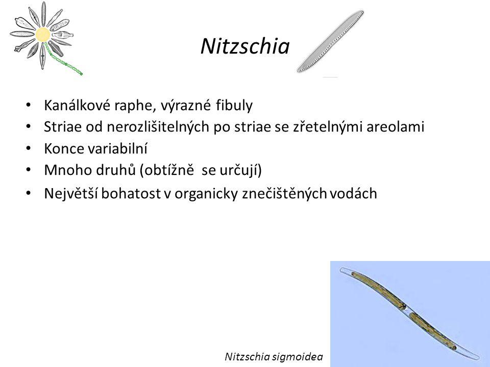 Eunotiales Raphe velmi redukované, nízká motilita Raphe na boku Na valvách mohou být rimoportuly Malá skupina, acidibionti – Eunotia – Actinella – Semiorbis – Peronia