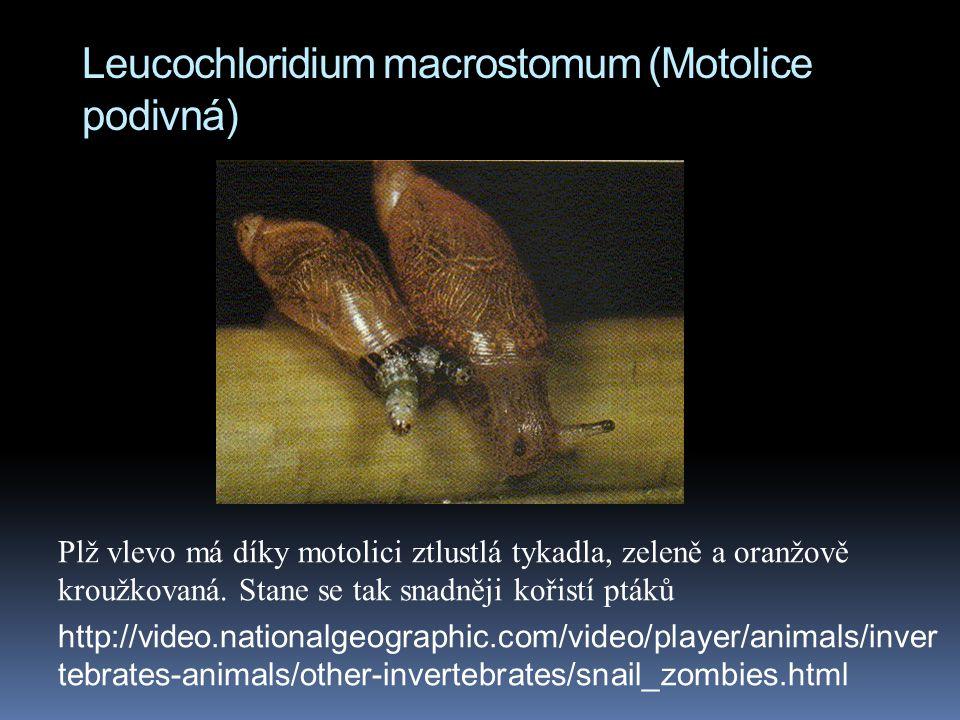 Leucochloridium macrostomum (Motolice podivná) Plž vlevo má díky motolici ztlustlá tykadla, zeleně a oranžově kroužkovaná.