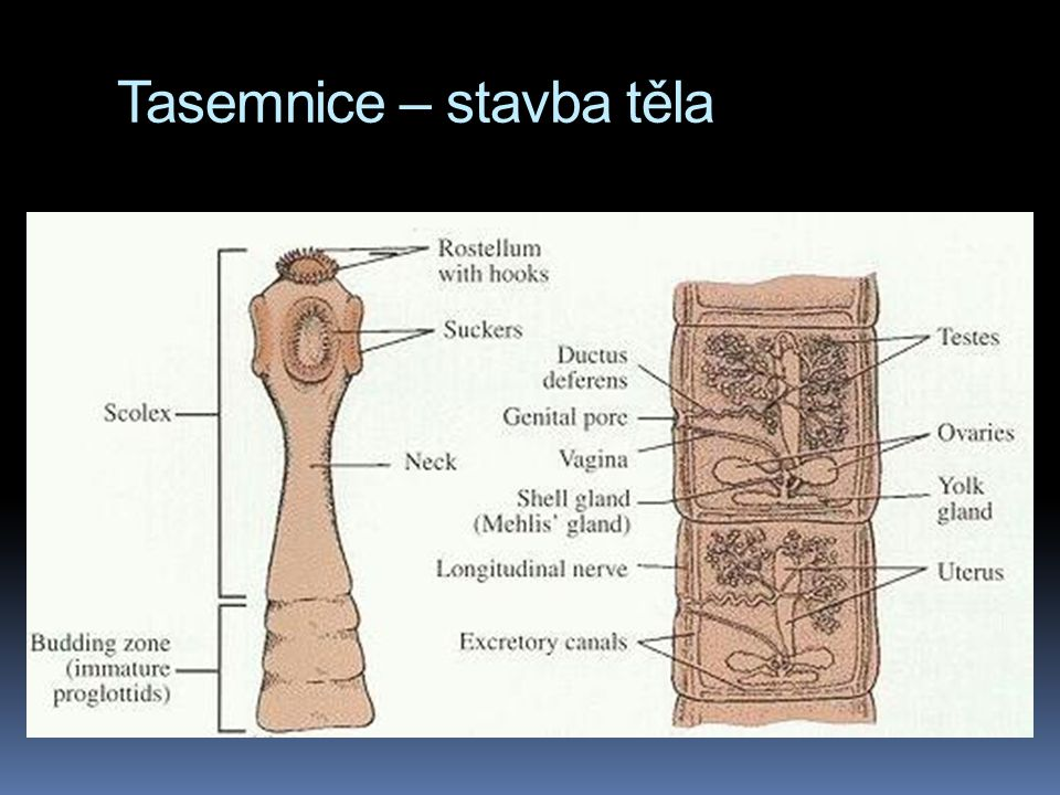 Tasemnice – stavba těla
