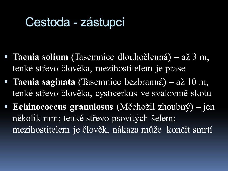 Cestoda - zástupci  Taenia solium (Tasemnice dlouhočlenná) – až 3 m, tenké střevo člověka, mezihostitelem je prase  Taenia saginata (Tasemnice bezbranná) – až 10 m, tenké střevo člověka, cysticerkus ve svalovině skotu  Echinococcus granulosus (Měchožil zhoubný) – jen několik mm; tenké střevo psovitých šelem; mezihostitelem je člověk, nákaza může končit smrtí