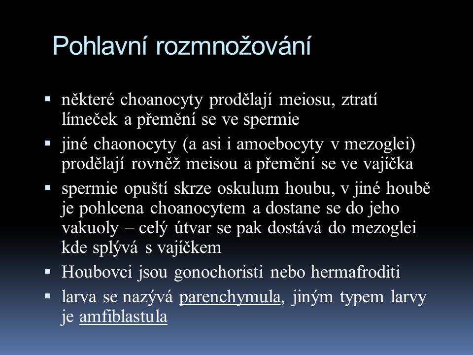 Pohlavní rozmnožování  některé choanocyty prodělají meiosu, ztratí límeček a přemění se ve spermie  jiné chaonocyty (a asi i amoebocyty v mezoglei) prodělají rovněž meisou a přemění se ve vajíčka  spermie opuští skrze oskulum houbu, v jiné houbě je pohlcena choanocytem a dostane se do jeho vakuoly – celý útvar se pak dostává do mezoglei kde splývá s vajíčkem  Houbovci jsou gonochoristi nebo hermafroditi  larva se nazývá parenchymula, jiným typem larvy je amfiblastula