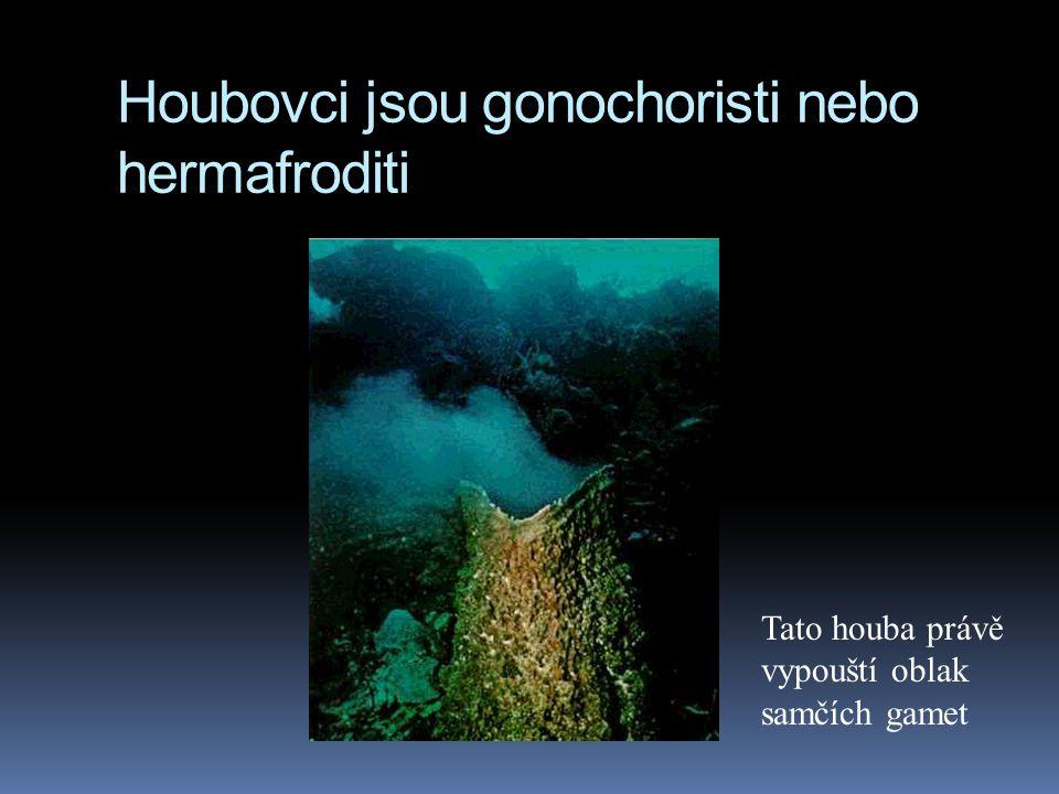 Houbovci jsou gonochoristi nebo hermafroditi Tato houba právě vypouští oblak samčích gamet
