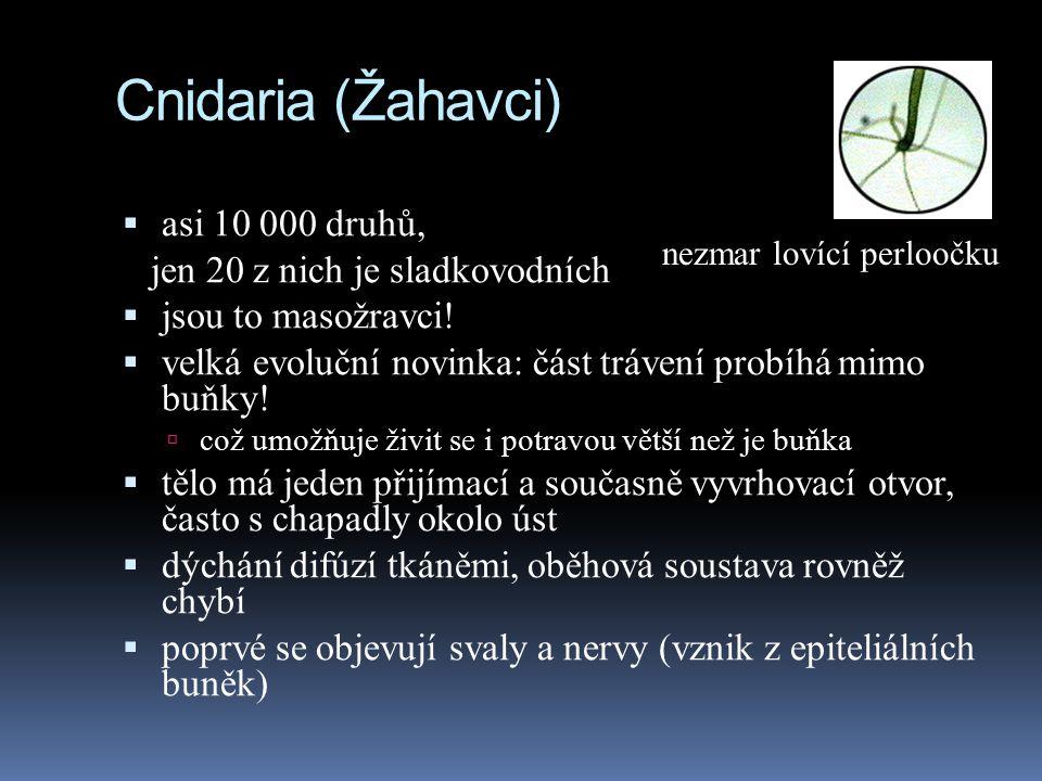 Cnidaria (Žahavci)  asi 10 000 druhů, jen 20 z nich je sladkovodních  jsou to masožravci.