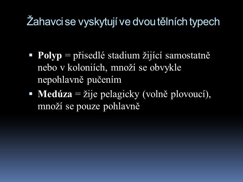 Žahavci se vyskytují ve dvou tělních typech  Polyp = přisedlé stadium žijící samostatně nebo v koloniích, množí se obvykle nepohlavně pučením  Medúza = žije pelagicky (volně plovoucí), množí se pouze pohlavně