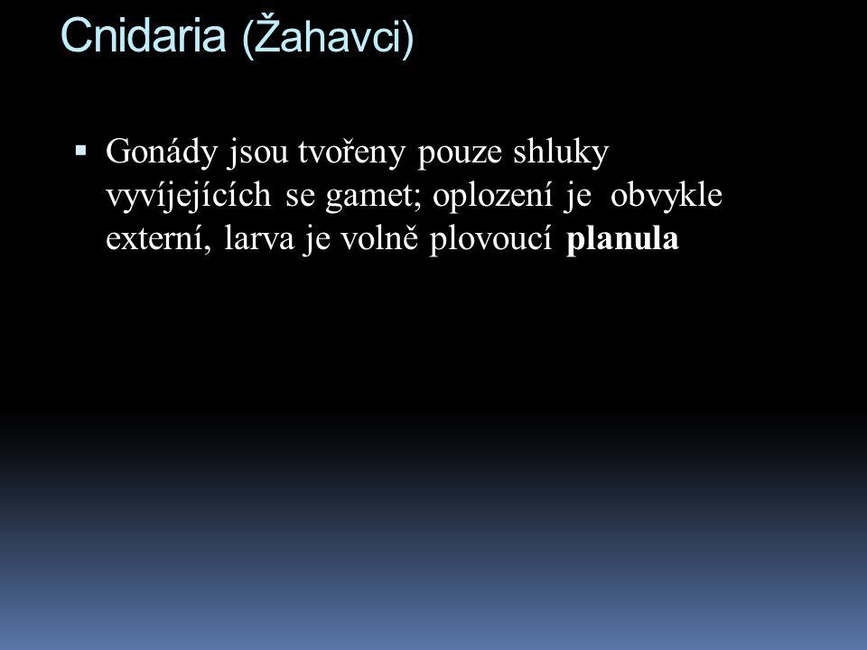 Cnidaria (Žahavci)  Gonády jsou tvořeny pouze shluky vyvíjejících se gamet; oplození je obvykle externí, larva je volně plovoucí planula