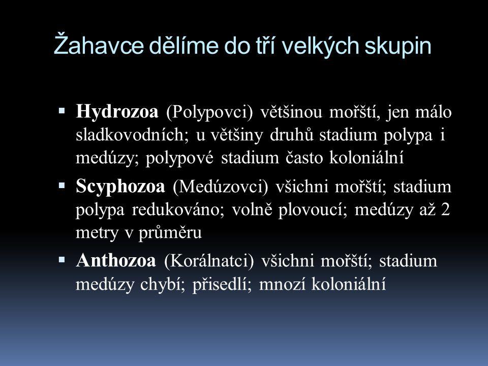 Žahavce dělíme do tří velkých skupin  Hydrozoa (Polypovci) většinou mořští, jen málo sladkovodních; u většiny druhů stadium polypa i medúzy; polypové stadium často koloniální  Scyphozoa (Medúzovci) všichni mořští; stadium polypa redukováno; volně plovoucí; medúzy až 2 metry v průměru  Anthozoa (Korálnatci) všichni mořští; stadium medúzy chybí; přisedlí; mnozí koloniální