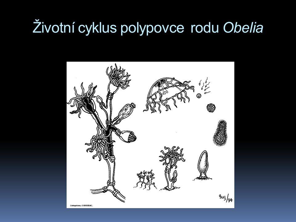 Životní cyklus polypovce rodu Obelia