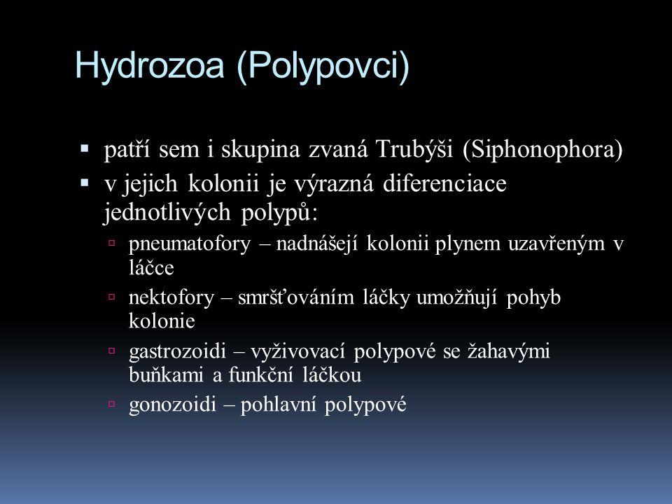 Hydrozoa (Polypovci)  patří sem i skupina zvaná Trubýši (Siphonophora)  v jejich kolonii je výrazná diferenciace jednotlivých polypů:  pneumatofory – nadnášejí kolonii plynem uzavřeným v láčce  nektofory – smršťováním láčky umožňují pohyb kolonie  gastrozoidi – vyživovací polypové se žahavými buňkami a funkční láčkou  gonozoidi – pohlavní polypové