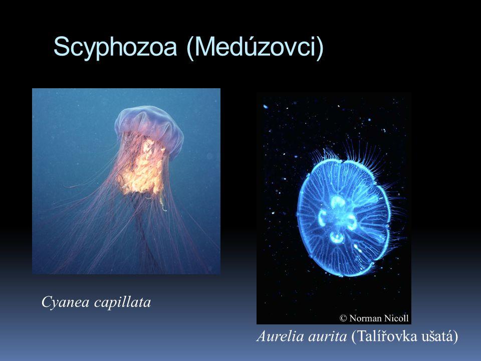 Scyphozoa (Medúzovci) Cyanea capillata Aurelia aurita (Talířovka ušatá)