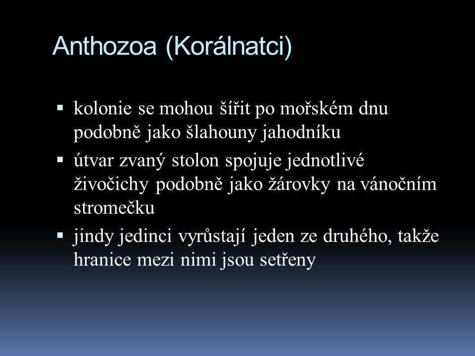 Anthozoa (Korálnatci)  kolonie se mohou šířit po mořském dnu podobně jako šlahouny jahodníku  útvar zvaný stolon spojuje jednotlivé živočichy podobně jako žárovky na vánočním stromečku  jindy jedinci vyrůstají jeden ze druhého, takže hranice mezi nimi jsou setřeny