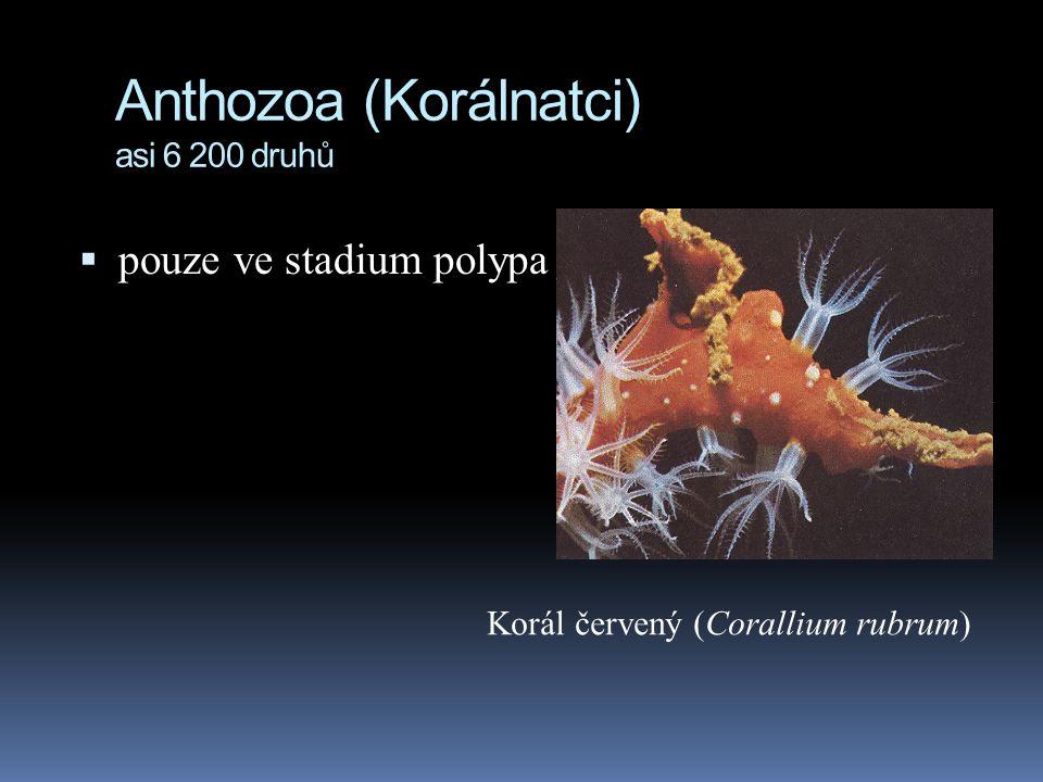 Anthozoa (Korálnatci) asi 6 200 druhů  pouze ve stadium polypa Korál červený (Corallium rubrum)