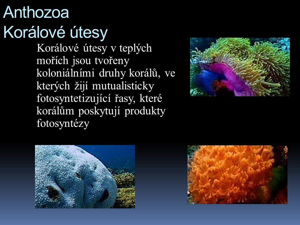 Anthozoa Korálové útesy Korálové útesy v teplých mořích jsou tvořeny koloniálními druhy korálů, ve kterých žijí mutualisticky fotosyntetizující řasy, které korálům poskytují produkty fotosyntézy