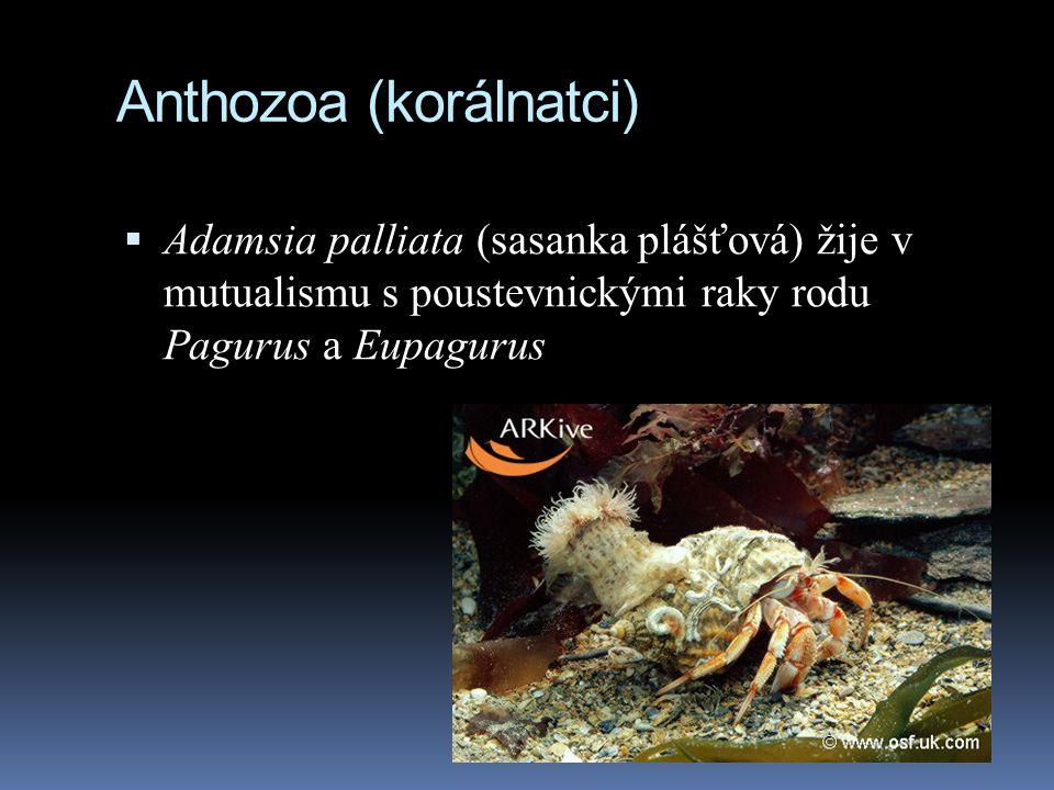 Anthozoa (korálnatci)  Adamsia palliata (sasanka plášťová) žije v mutualismu s poustevnickými raky rodu Pagurus a Eupagurus