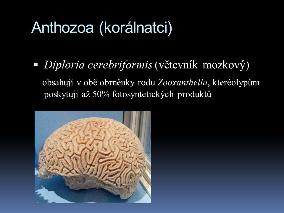 Anthozoa (korálnatci)  Diploria cerebriformis (větevník mozkový) obsahují v obě obrněnky rodu Zooxanthella, kteréolypům poskytují až 50% fotosyntetických produktů