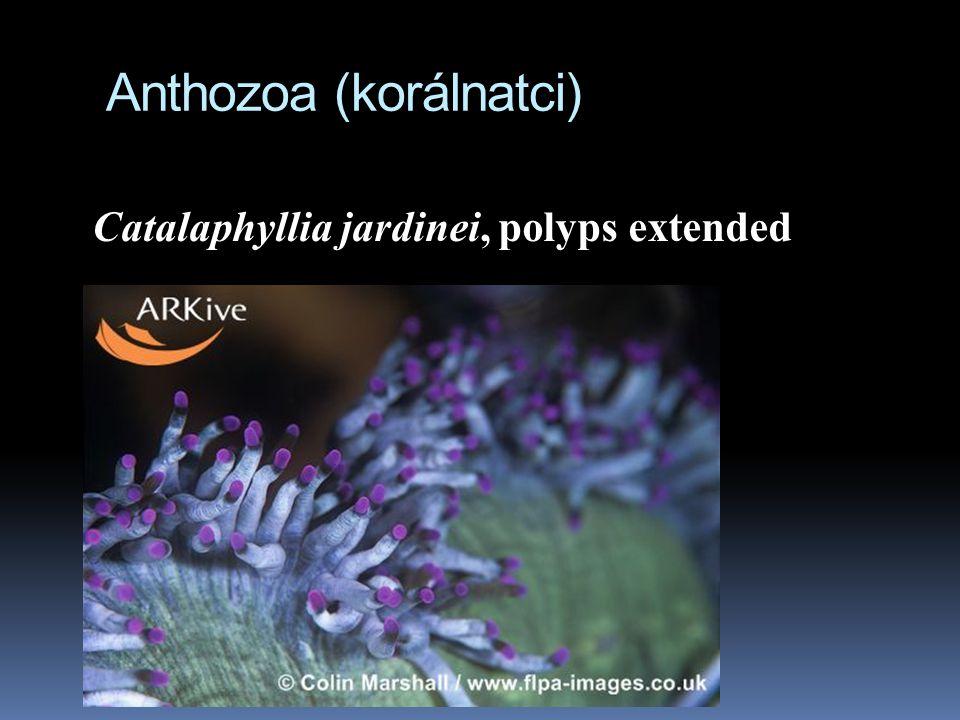 Anthozoa (korálnatci) Catalaphyllia jardinei, polyps extended