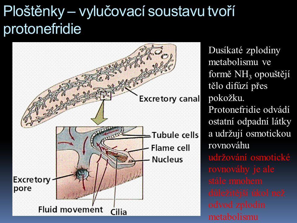 Ploštěnky – vylučovací soustavu tvoří protonefridie Dusíkaté zplodiny metabolismu ve formě NH 3 opouštějí tělo difúzí přes pokožku.