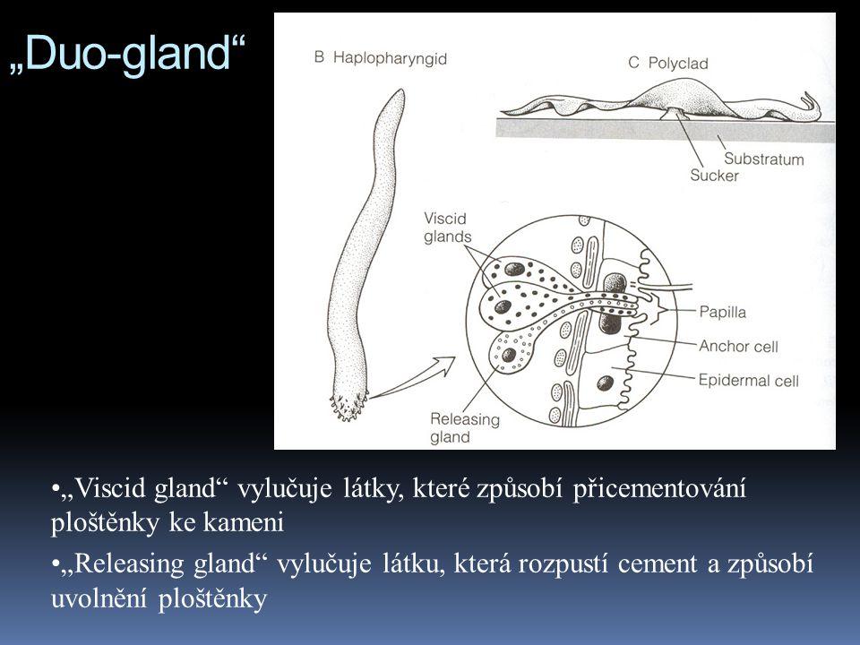 """""""Duo-gland """"Viscid gland vylučuje látky, které způsobí přicementování ploštěnky ke kameni """"Releasing gland vylučuje látku, která rozpustí cement a způsobí uvolnění ploštěnky"""