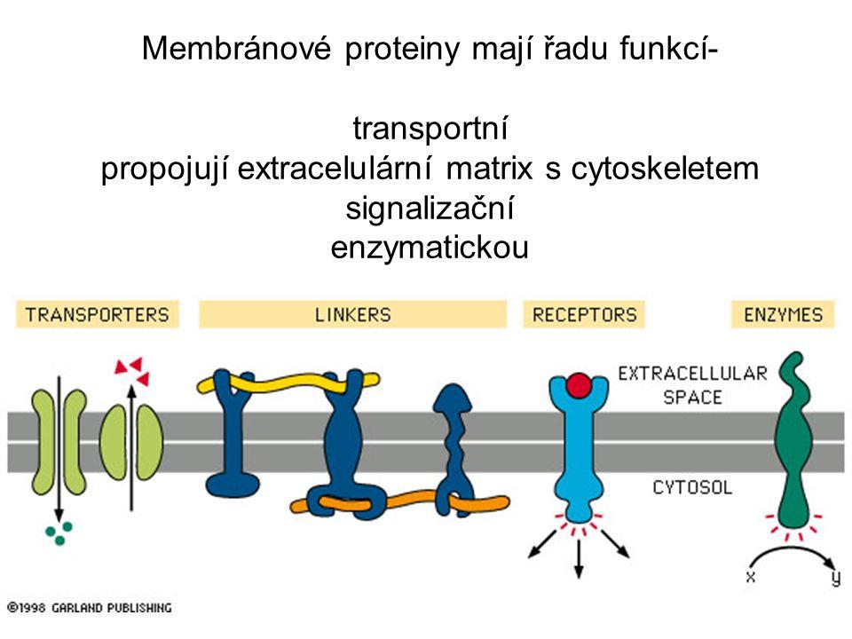 Membránové proteiny mají řadu funkcí- transportní propojují extracelulární matrix s cytoskeletem signalizační enzymatickou