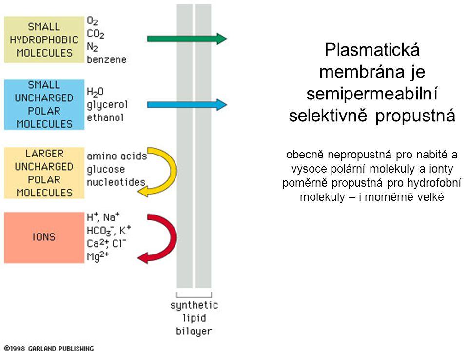 Plasmatická membrána je semipermeabilní selektivně propustná obecně nepropustná pro nabité a vysoce polární molekuly a ionty poměrně propustná pro hydrofobní molekuly – i moměrně velké