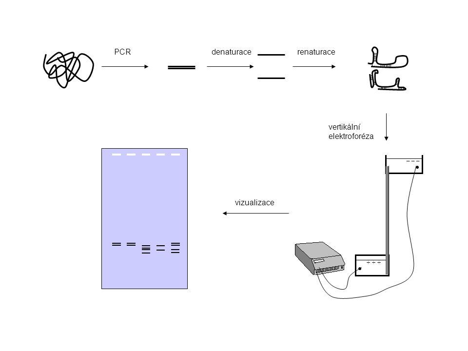 + + + _ _ _ denaturacePCRrenaturace vertikální elektroforéza vizualizace