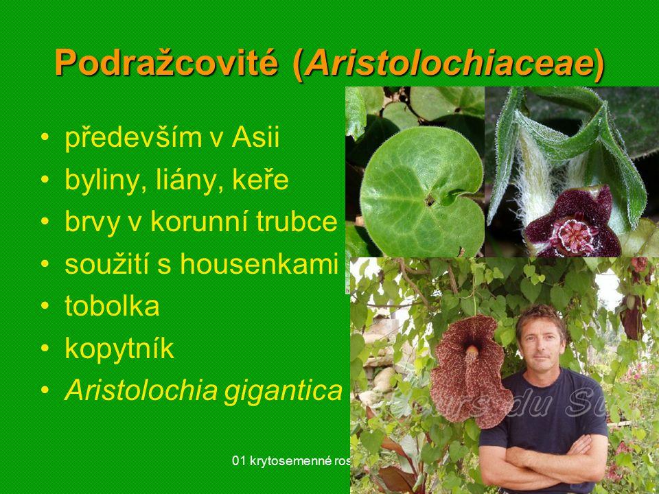 01 krytosemenné rostliny - systém28 Podražcovité (Aristolochiaceae) především v Asii byliny, liány, keře brvy v korunní trubce – opylení soužití s housenkami tobolka kopytník Aristolochia gigantica