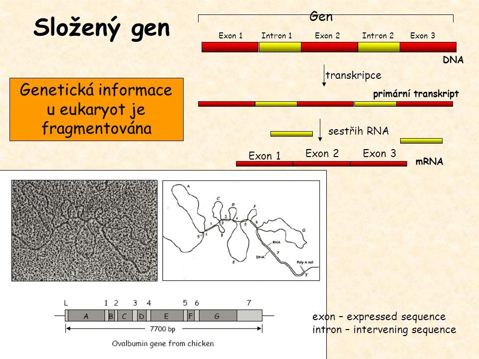 Složený gen Gen Exon 1Exon 2Exon 3Intron 1Intron 2 transkripce sestřih RNA DNA primární transkript mRNA Exon 1 Exon 2Exon 3 exon – expressed sequence