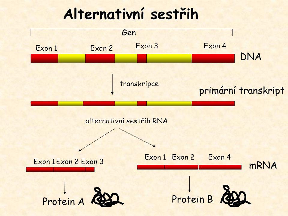 Gen Exon 1Exon 2 Exon 3 transkripce alternativní sestřih RNA DNA primární transkript mRNA Exon 1Exon 2Exon 3 Exon 4 Exon 1Exon 2Exon 4 Protein A Prote