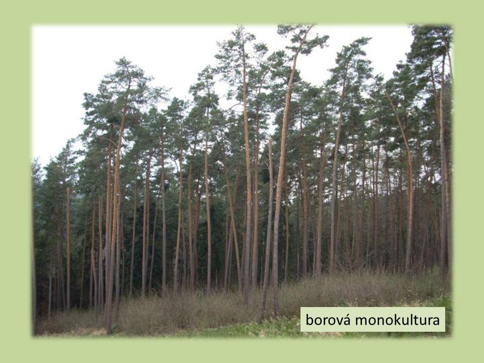 borová monokultura