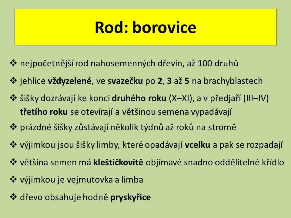 Rod: borovice  nejpočetnější rod nahosemenných dřevin, až 100 druhů  jehlice vždyzelené, ve svazečku po 2, 3 až 5 na brachyblastech  šišky dozrávaj