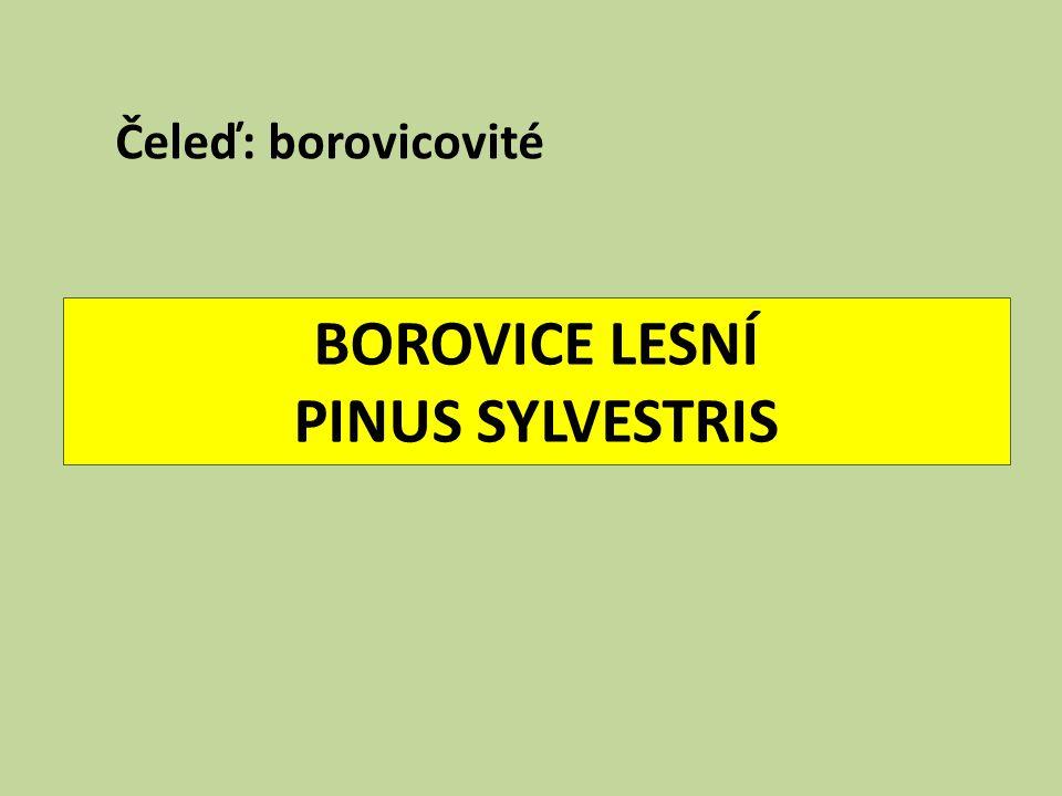 BOROVICE LESNÍ PINUS SYLVESTRIS Čeleď: borovicovité