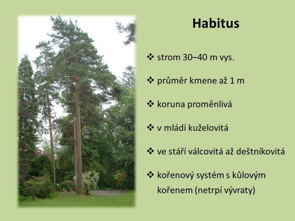 Habitus  strom 30–40 m vys.  průměr kmene až 1 m  koruna proměnlivá  v mládí kuželovitá  ve stáří válcovitá až deštníkovitá  kořenový systém s k
