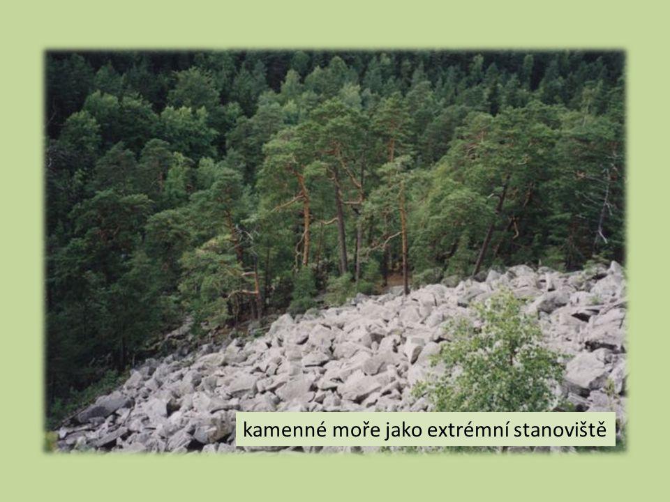 Kůra a borka  kůra oranžová a hladká  zachovaná v horní části kmene  borka šedo až červenohnědá  silná a deskovitě rozpukaná